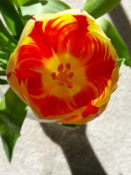 Close-up of one Rembrandt tulip blossom