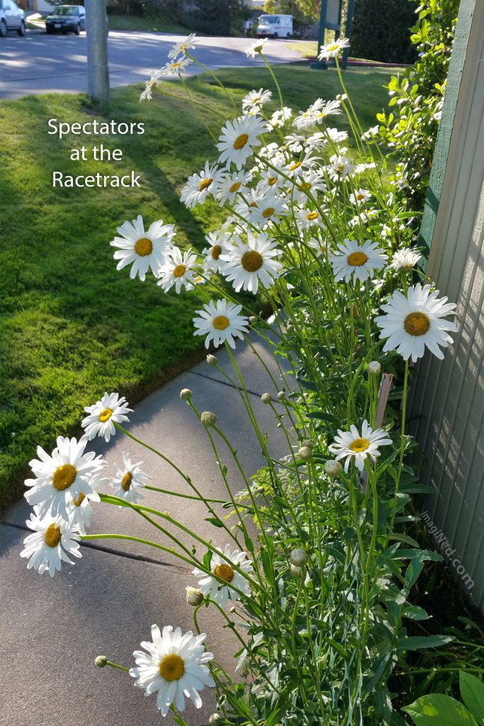 A crowd of daisies, peering over the fence at the edge of the roadway, as if spectators at the racetrack.