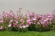 Flower bed of pink flowers
