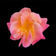 Against a black background, a rose with a peach-colored center unfolds its pastel pink petals.