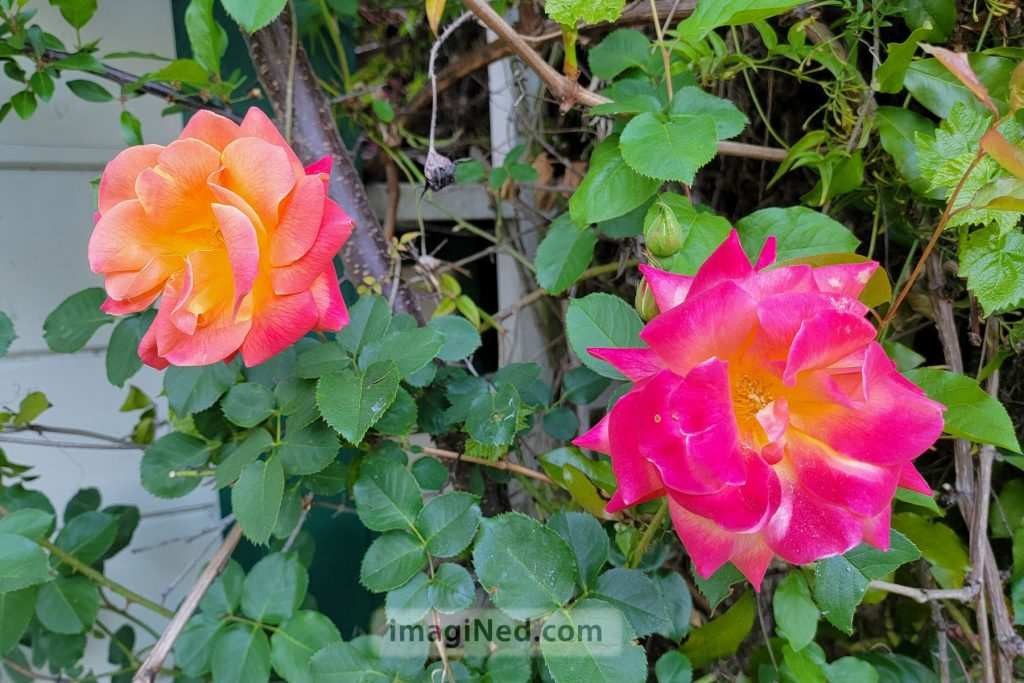 Two roses, one peachy-pink, the other more magenta, stand out against a background of trellised vines.