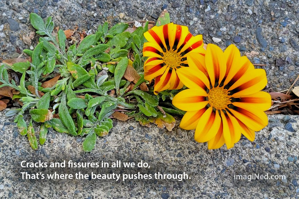 Two brightly colored Gazania (African Daisy) flowers blossom through a crack in a concrete sidewalk.